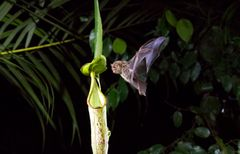 A Hardwicke's Woolly Bat flies into a Nepenthes pitcher plant in Mulu National Park in Borneo. ©Our Planet;Ben Macdonald;Silverback Films;Netflix