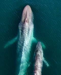 A blue whale mother and her calf, taken in the Sea of Cortez. ©Our Planet;Oliver Scholey;Hector Skevington-Postles;Silverback Films;Netflix