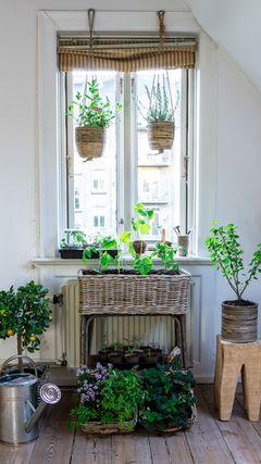 Vil du dyrke køkkenhave i vindueskarmen, er lysindfaldet vigtigt, og vinduer med morgensol er at foretrække. Foto: PR.