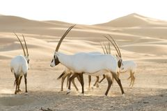 Arabian Oryx in the Empty Quarter, these are part of a reintroduced population after they went extinct in the wild in the 70's. ©Our Planet;Jo Harvey;Silverback Films;Netflix