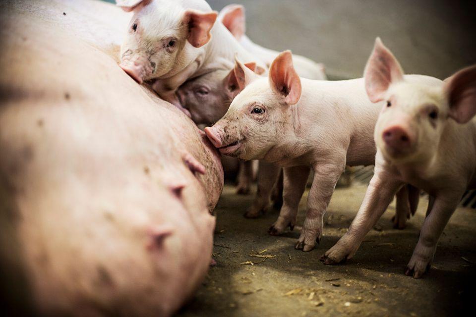 Nyt projekt skal minimere varmestress hos grise