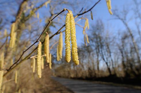 hvad er pollen