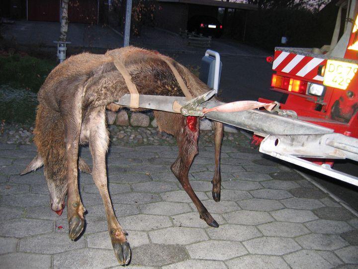 Dyrenes Beskyttelse opfordrer bilister til at være særligt opmærksomme på hjorte i denne tid og sænke farten i udsatte områder. Foto: Dyrenes Beskyttelse. Rettigheder: Foto til fri afbenyttelse