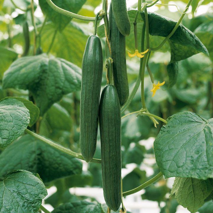 Agurkeplanten holder oftest kun en halv sæson, men ved brug af et gammelt trick, kan haveglade danskere få hjemmedyrkede agurker langt ind i efteråret – endda uden et drivhus. Foto: PR.